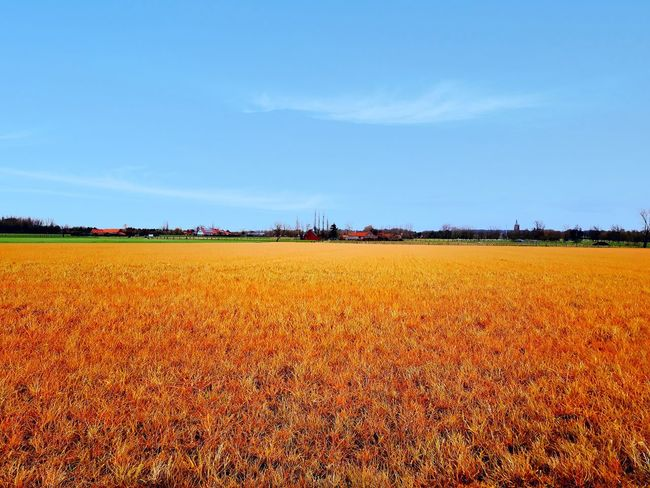 The Golden Field Taking Photos Popular Photos My Unique Style EyeEm Best Shots EyeEm Best Edits My Art, My Soul... Landscape Horizon Over Land Being Creative. Expressing Myself. Landscapes With WhiteWall Agriculture