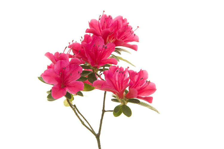 Pink blosseming azalea flowers on a branch isolated on a white background Azelea Azelea Bl♡♡m Pink Plant Azalea Flowers Blossom Bush Pink Flower White Background