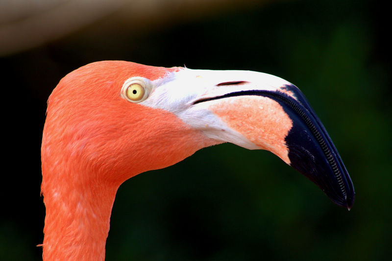 American Flamingo Flamingo Birds Birds_collection Animal Themes Bird Animals In The Wild Beak Animal Body Part Animal Head  Animal Eye Freshwater Bird Animal Neck Nature Orange Color American Flamingo Galapagos Animal Wildlife Side View Profile View Greater Flamingo