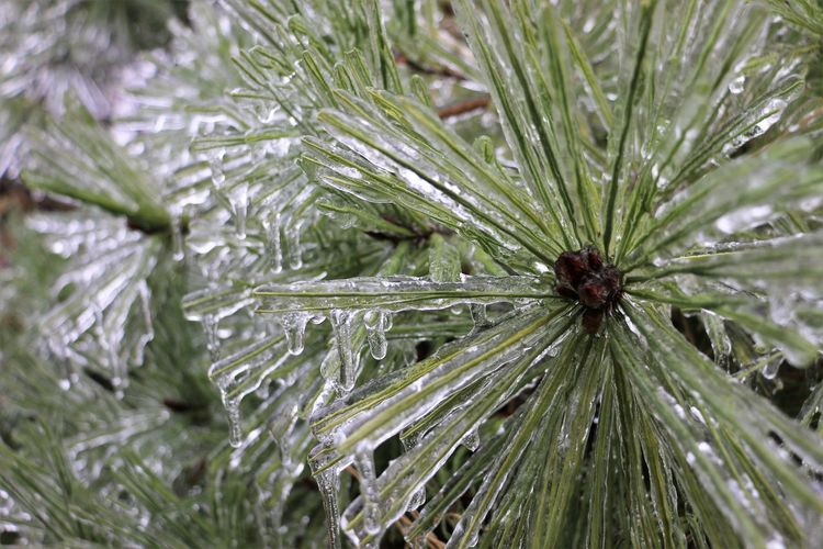 Icicles Icicles Up Close Ice Storm Nature Winter Cold Temperature Plants No People Close-up Plant Green Color Pine Tree Leaf Coniferous Tree Full Frame Beauty In Nature Day Backgrounds Outdoors Focus On Foreground Needle - Plant Part