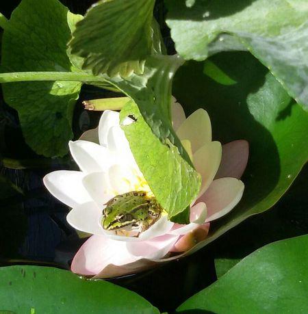 Frog Seerose Seerosenblätter Frösche Nature Teichrosen Teichfrosch Grün Garten Pflanze Natur Gartenglück