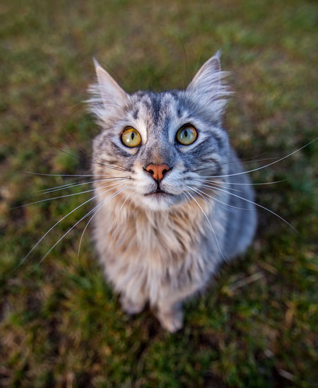 High angle portrait of cat on field