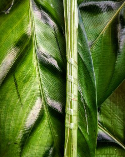 Green Color Nature Growth Leaf Beauty In Nature Plant Backgrounds Freshness Calathea Huaweip10plus
