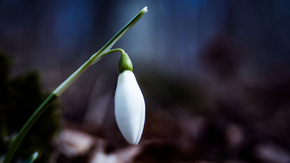 Beauty In Nature Close-up Day Flower Flower Head Focus On Foreground Fragility Freshness Growth Nature No People Outdoors Petal Plant Snowdrop