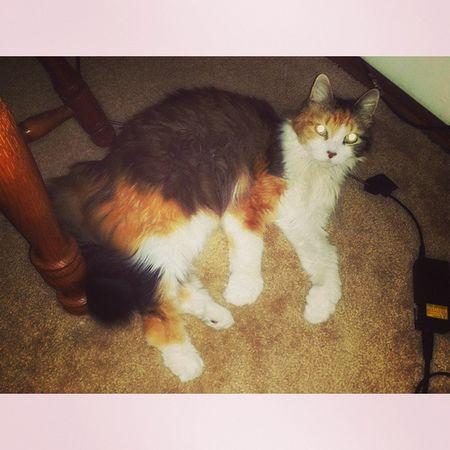 Fifi Catlovers Calicocats Hello ❤ Oh Hi There  Ilovemycat Petlover Petslife