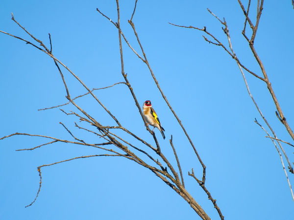 Ojalá tuviera alas para poder volar y estar a tu lado Animal Themes Animals In The Wild Bare Tree Bird Blue Branch Carduelis Carduelis Carduelis Clear Sky Color Day Free Freedom Goldfinch Low Angle View Multi Colored Nature No People One Animal Outdoors Perching Sky Songbird  Tree Wildlife