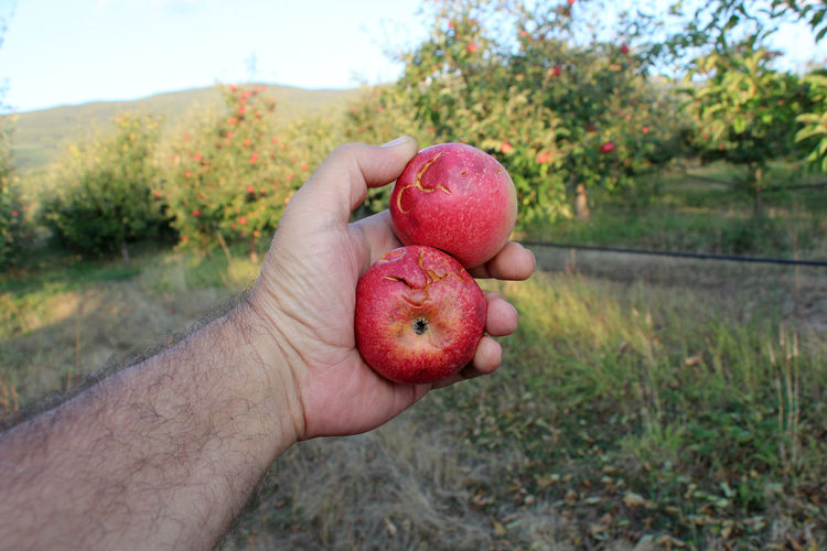 Close-up of hand holding damaged red apples on field