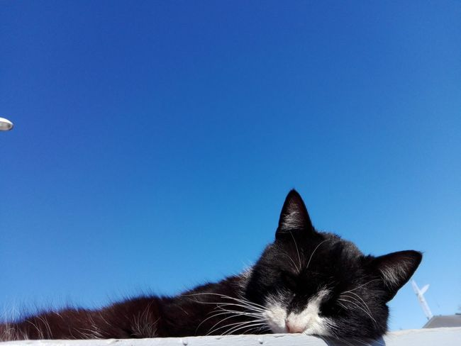 Cat Uppon Blue Sky Cat Uppon Sky Blue Sky Cat Ionita Veronica Photography WOLFZUACHiV Photography Pets Clear Sky Blue Sky Close-up Whisker Feline Domestic Cat Go Higher