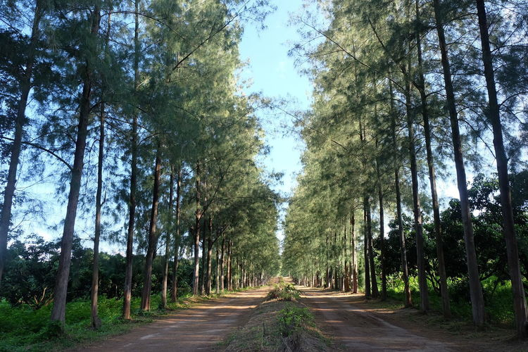 Tree Plant The Way Forward Direction Road Forest Growth Nature Land Beauty In Nature Transportation No People Tranquility Treelined Green Color Diminishing Perspective Day Tree Trunk Trunk vanishing point Outdoors WoodLand Bamboo - Plant