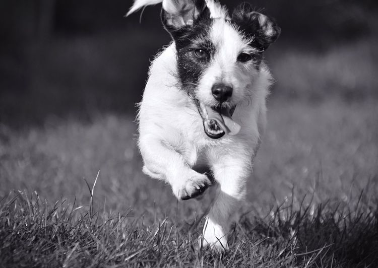 Running Black&white Blackandwhite Photography Black & White Black And White Blackandwhite Fast Running Running Free Playing Dog Dogs Dog Love Jack Russell Jackrussell Pet Pets Pet Photography  Pets Corner