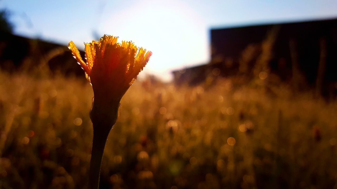 plant, growth, beauty in nature, close-up, nature, focus on foreground, flowering plant, sky, field, flower, sunset, sunlight, fragility, vulnerability, freshness, no people, land, outdoors, plant stem, day, flower head