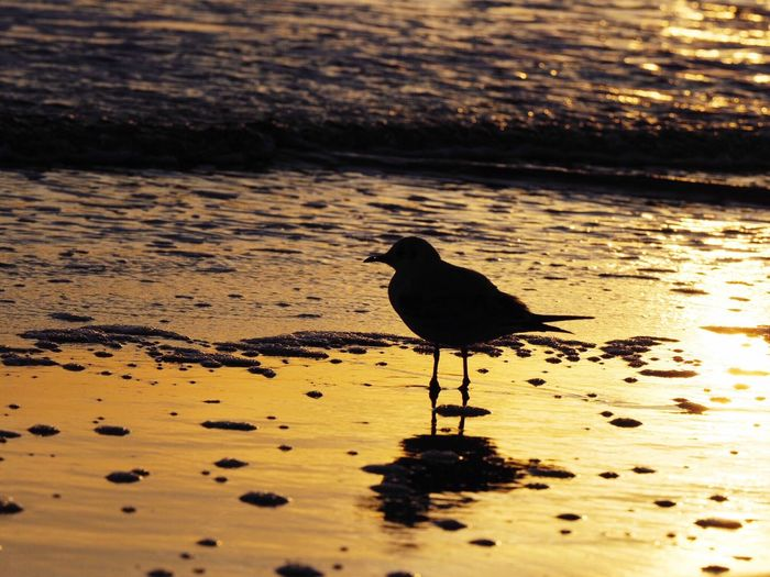 Bird Animal Themes Animal Wildlife Animal Animals In The Wild One Animal Water No People Sunset Beach Sand Nature Reflection Outdoors Sunlight