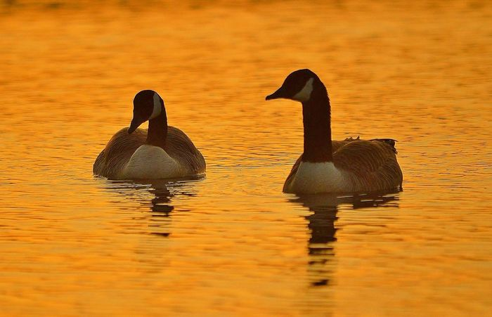 Geese at Sunset Animals In The Wild Water Reflection Swimming Animal Themes Waterfront Lake Nature Bird Animal Wildlife No People Togetherness Beauty In Nature Geese Photography Geese Geese In Water Geese At The Lake Geese In Nature