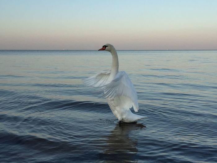 swan beauty in