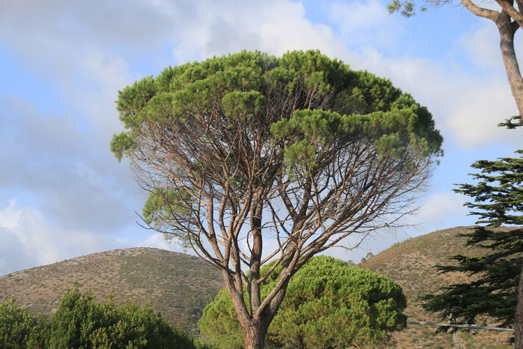 Stone Pine in Italy The Purist (no Edit, No Filter) Noedit Nofilter Raw Photography Raw Image Raw Tree Nature Cloud - Sky Growth Sky Beauty In Nature Plant Day Outdoors No People Landscape Scenics Stone Pine Landscape_Collection Beauty In Nature