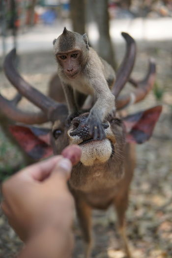 Cropped hand of person holding food against monkey sitting on deer at zoo