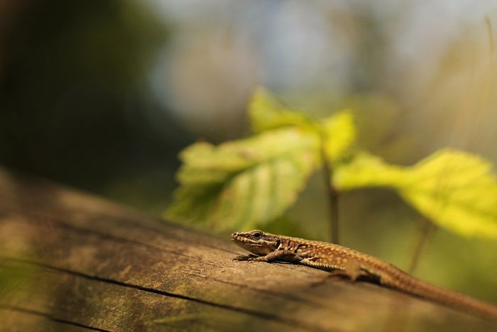 Animal Wildlife Animals In The Wild One Animal No People Animal Themes Nature Day Outdoors Close-up Reptile Leaf 🍂 Forest Wood Macro Sun Light Beauty September Leaf Lizardlife Lizard Morning Closing Lizard Close Up Lizard Photography