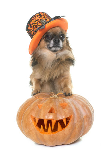 Close-up of a dog against orange background