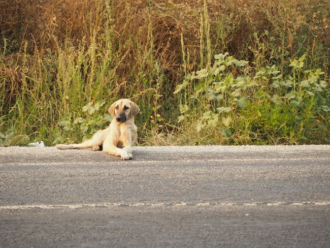 Outdoors Dog One Animal Road Animal No People Day Sitting Nature Golden Hour Goldenlight Deep Thoughts