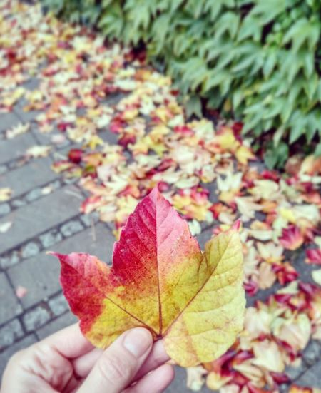 Leaf Autumn Change Maple Leaf Leaves Nature Human Body Part Beauty In Nature One Person Human Hand Multi Colored EyeEm Selects Nature Streetart Fall Autumn Colors Autumn Leaves Urbannature Berlin Berlinmitte Berlinstreetart Herbst Herbstblatt Women Hand Ombre