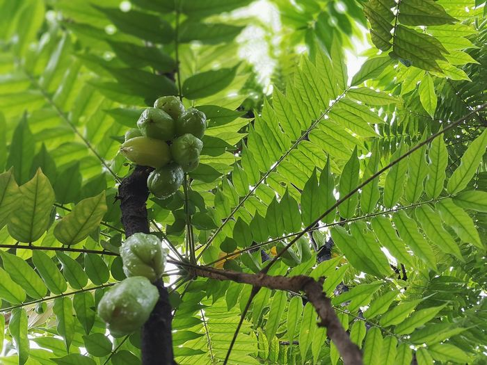 Low hanging fruit Green Color Nature Growth Tree Fruit Close-up Low Angle View Branch Freshness Leaves Bilimbi Tropical Fruit