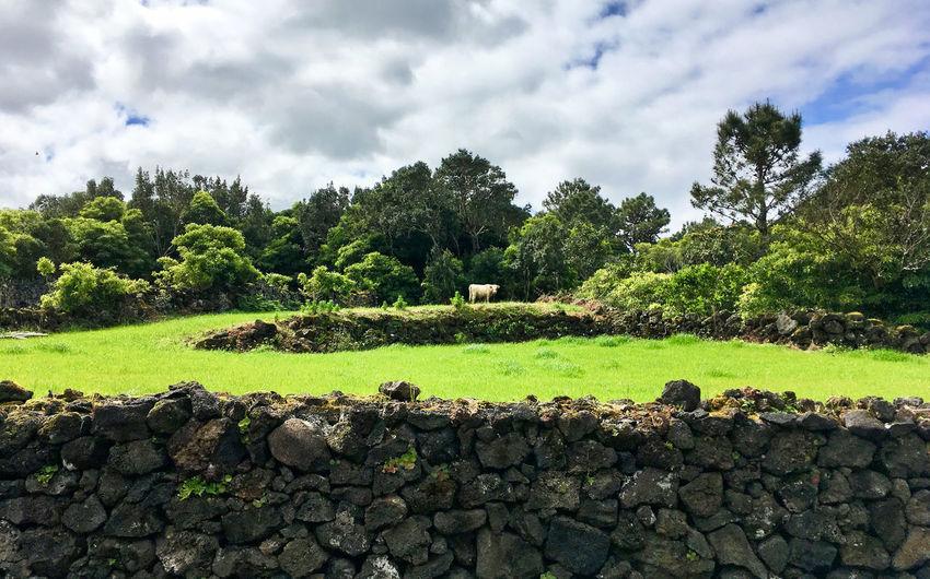 Azoren Beauty In Nature Cloud - Sky Day Dramatischer Himmel Geballte Natu Grass Grass Green Color Growth Heftige Wolken über Wiese Kuh Auf Weide Kuh Auf Wie Nature No People Outdoors Saftige Grüne Wiese Scenics Sky Tree Wiese Auf Den Azoren
