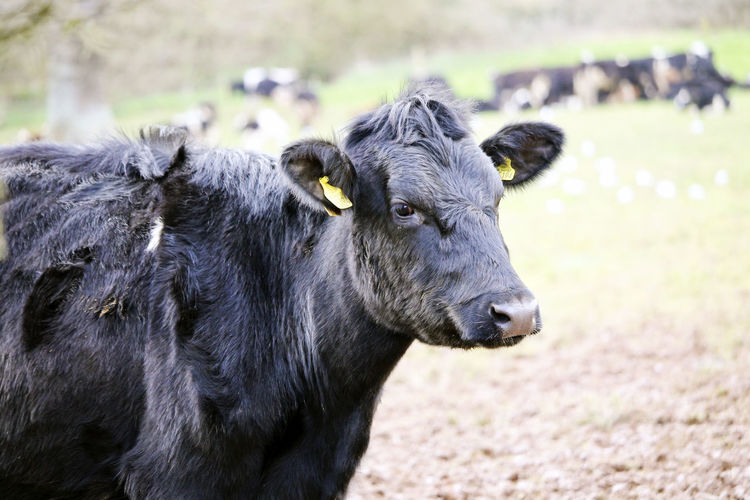 Black cow in a field. Farm Animal Animal Head  Animal Themes Animal Wildlife Cattle Cow Cows Day Domestic Domestic Animals Field Focus On Foreground Herbivorous Land Livestock Mammal Nature No People One Animal Outdoors Standing Vertebrate