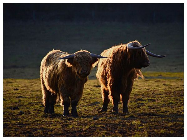 Highlandrinder 🐂💫✨ Sunset Silhouettes Livestock Domestic Animals Cattle Animal Themes Domestic Cattle Cow Mammal Highland Cattle Agriculture No People Standing Outdoors Nature