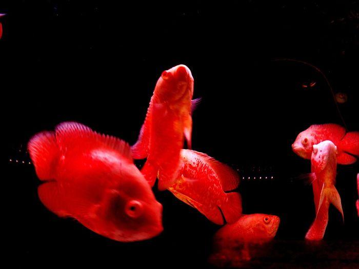 EyeEm Selects Red Vibrant Iluminate Dark Background Fish Aquatic Life
