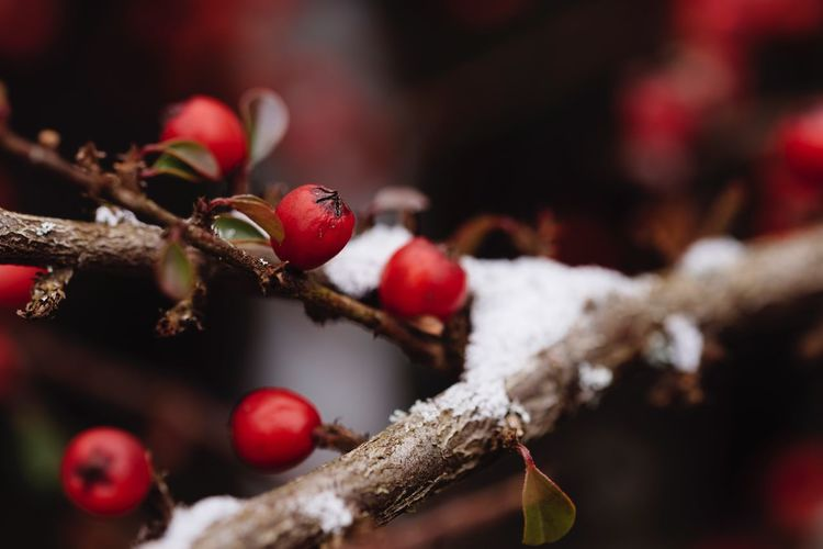 Shades Of Winter EyeEm Selects Fruit Tree Focus On Foreground Branch Growth Red Food And Drink Nature Twig Close-up Outdoors Rose Hip Day Beauty In Nature No People Freshness Winter Food