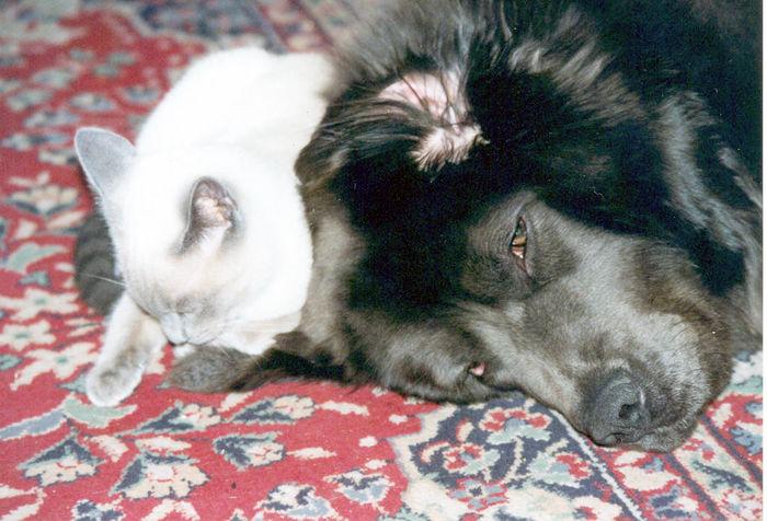Animal Friends Animal Themes Cat And Dog Domestic Animals Lying Down Mammal Pets Relaxation Siamese Cat Tibetan Mastiff Two Animals