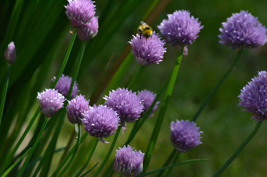 Beauty In Nature Bee Bumblebee Chives Close-up Flower Flower Head Flowers Garden Nature Outdoors Plant Purple Spring Spring Flowers