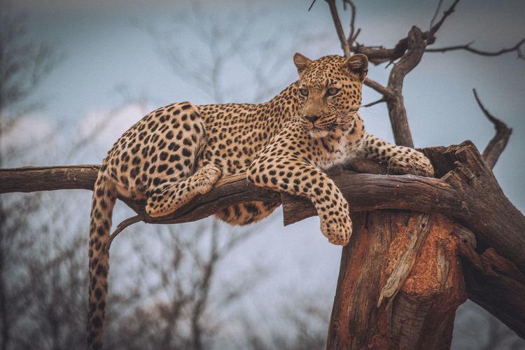 Leopard sitting on broken tree