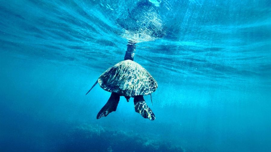 Turtle Time Hawaii First Eyeem Photo Ocean Diving Freedom Turtle Holiday Travel Water Underwater Sea UnderSea Swimming Aquatic Sport Scuba Diving Blue Adventure Nature Animals In The Wild Animal Wildlife Underwater Diving Sport First Eyeem Photo My Best Photo
