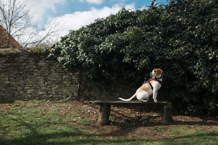 Beagle sitting on park bench against trees during sunny day