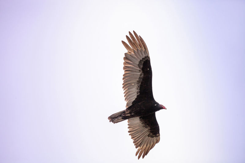 Turkey vulture cathartes aura in the marsh at Lakes Park in Fort Myers, Florida Cathartes Aura Condors Flying High Turkey Vulture Animal Themes Animals In The Wild Bird Bird Of Prey Birds Buzzard  Clear Sky Day Flying Low Angle View Nature No People One Animal Outdoors Sky Spread Wings