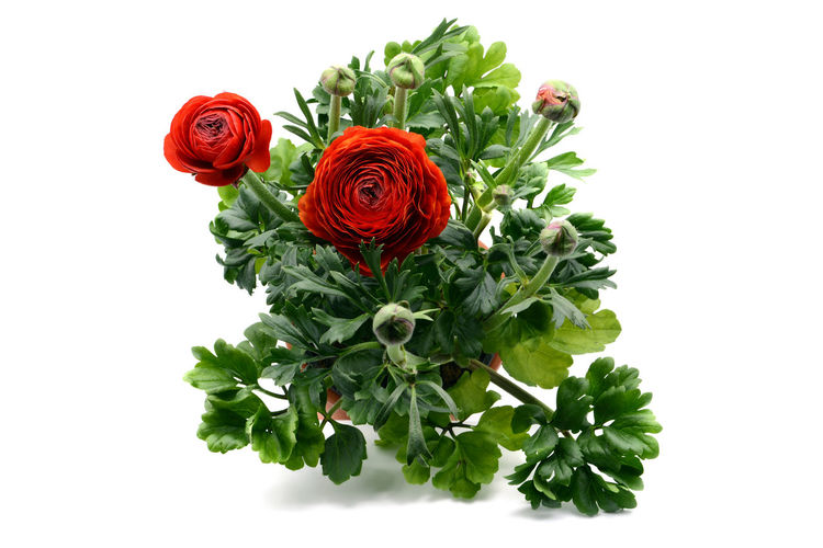 Persian buttercup (Ranunculus asiaticus) on white isolated background. top view. Persian Buttercup Ranunculus Asiaticus Ranunkel  Flower Flower Head Freshness Green Color Plant Ranunculaceae Ranunculus Ranunculus Flower Red Studio Shot Top View White Background