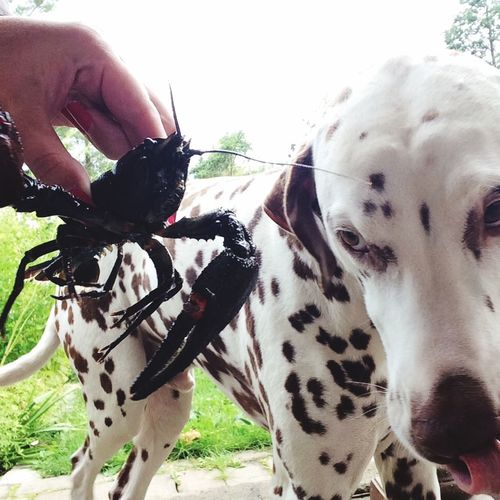 Summer Dogs Mr M looking forward to dinner we just catched! Prickarochmagnolia Dog Dalmatian I Love My Dog Crayfish Catching Crayfish
