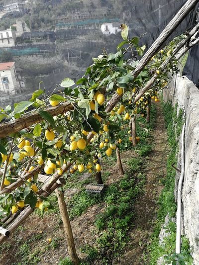Maiori - Limoneti along the Sentiero dei Limoni Lemons Penisola Sorrentina Amalfi Coast Plantation Ripe Winemaking Rural Scene Outdoors Vineyard Green Color Built Structure No People Wellbeing Freshness Tree Day Nature Agriculture Plant Growth Food And Drink Healthy Eating Food Fruit Path Of Lemons