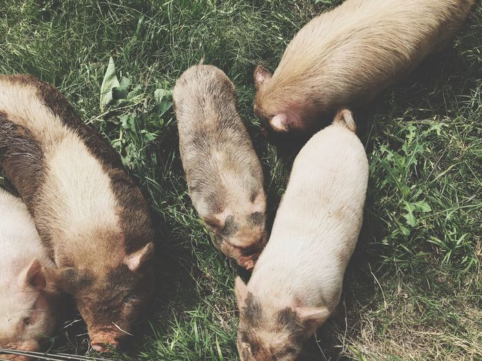 High Angle View Of Pigs Grazing On Field