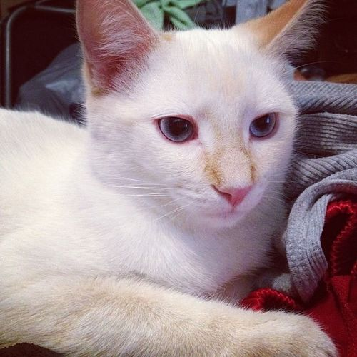 My Peanut aka mushmellow Fatty Flamepoint Siamese siameseofinstagram catsofinstagram kitty cute tagforlikes love orange white meow