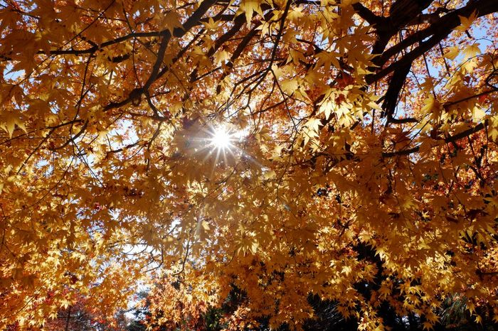 Sunlight is shining through japanese maple leaves in fall season Autumn Fall Season Leaves Pass Through Sunlight Yellow Autumn Nature Tree Beauty In Nature Low Angle View Growth Branch Change Outdoors Sunlight Sun Maple Tree Scenics Freshness Day