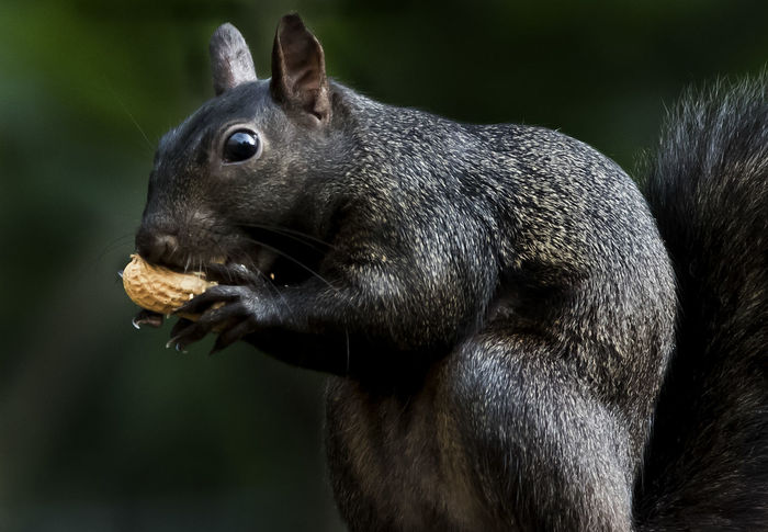 Peanut lover Black Squirrel Squirrel Animal Wildlife Animals In The Wild Black Squirrel Eating Peanuts Eating Hungry Looking One Animal Outdoors Rodent Side View Whisker