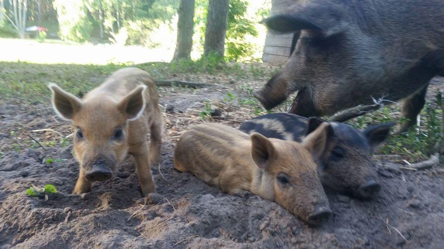 Schweine Ferkel Schwein Animal Nature Natur Piglet Young Animal High Angle View Pig Close-up Livestock