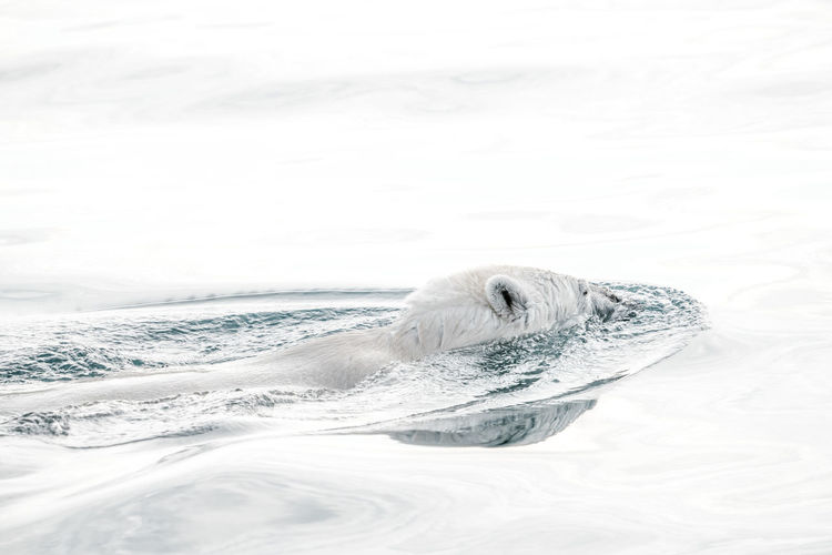 Polar bear swimming in sea