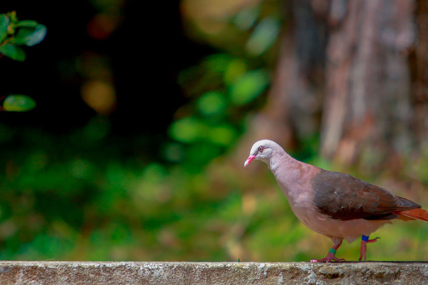 Pink Pigeon Animal Themes Bird Close-up Day Focus On Foreground Mourning Dove Nature No People One Animal Outdoors Perching