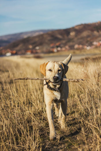 Portrait of dog walking with stick on field