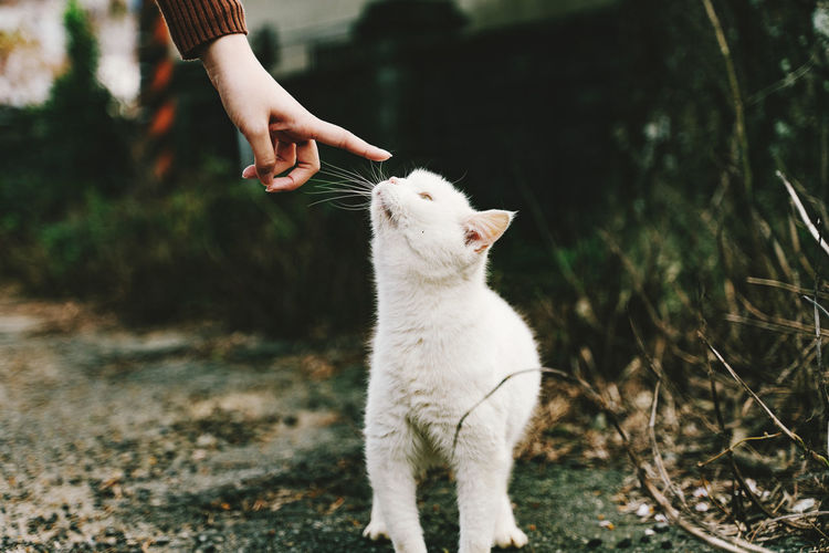 Touch, white cat