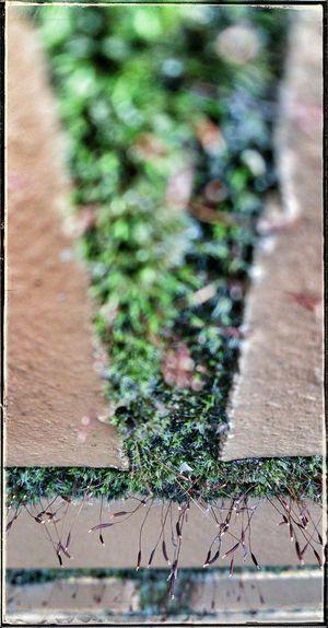 Moosgewächs Pflanze An Der Mauer Naturelovers