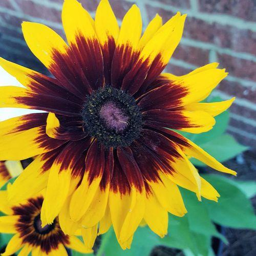 Sun found in garden.... Flower Head Flower Yellow Petal Black-eyed Susan Springtime Close-up Plant Blooming In Bloom